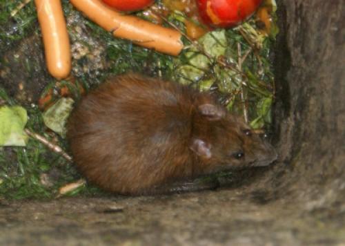 Escherichia coli: Ratten sind Gefahr für Menschen und Geflügel