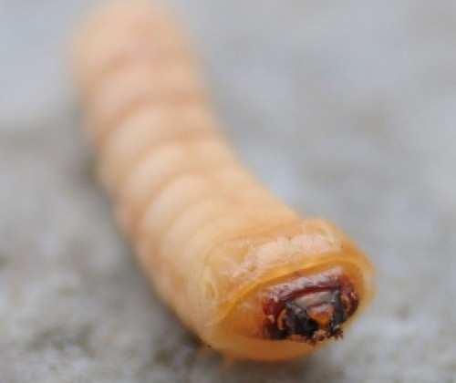 Lebensmittelbedingte Infektionen durch Würmer und einzellige Protozoen