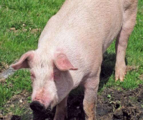 Flüssigrauch soll Eberfleisch schmackhaft machen