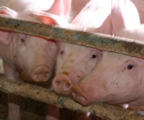 EFSA revidiert Kupferhöchstgehalte in Tiernahrung