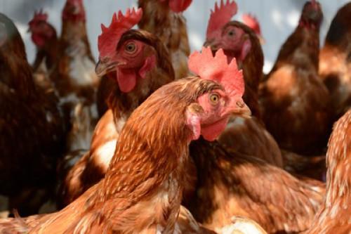 Reduktion antibiotikaresistenter Erreger bei Mastgeflügel