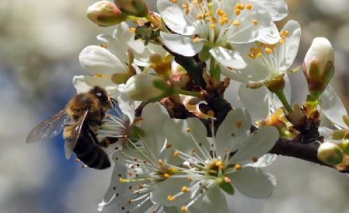 EU: Pflanzenschutz für Bienensterben verantwortlich