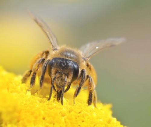 Neonikotinoide: Risiko für Bienen durch Spritzanwendung zur Blattbehandlung bestätigt