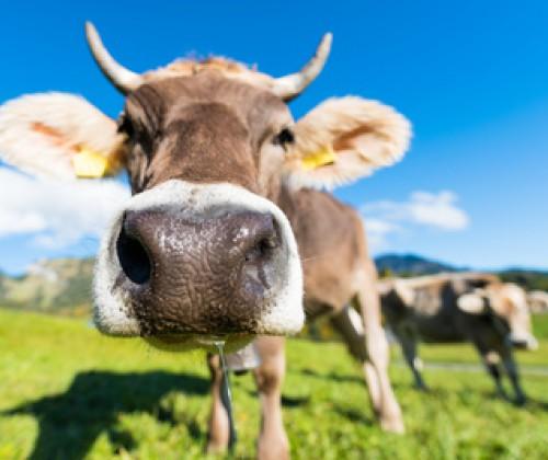 Die Tiergesundheit bestimmt die Lebensmittelsicherheit!