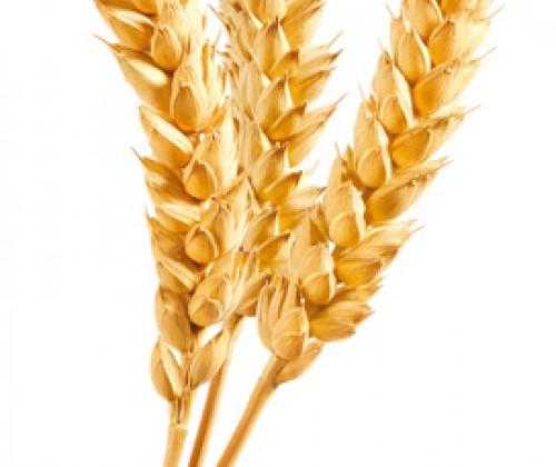 Gluten-Intoleranz: Mechanismus aufgedeckt
