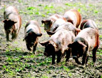 Ein Protestschwein - gut gepflegt