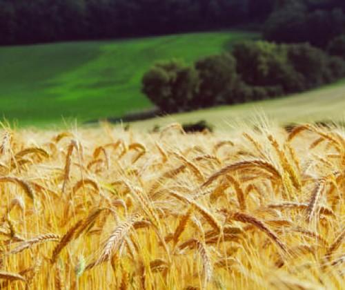 EFSA: Glyphosat ‒ Sicherheit von Rückstandsgehalten