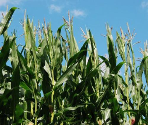 Neue EFSA-Leitlinien: Allergenitätsbewertung von GV-Pflanzen