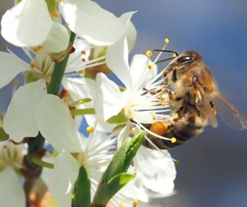 Leitlinien für Bienen und Pestizide: Arbeitsplan veröffentlicht