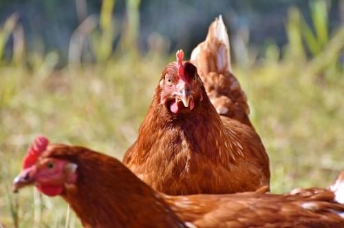 Resistente Keime bei Discounter-Geflügel