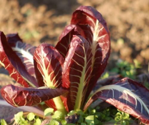 Leitfaden zur Minimierung von Pyrrolizidinalkaloiden in Lebensmitteln