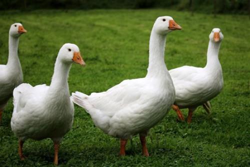 Vogelgrippe: Virus durch Schale infektiös