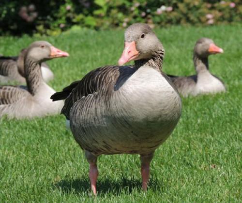Vogelgrippe: Neue wissenschaftliche Empfehlungen