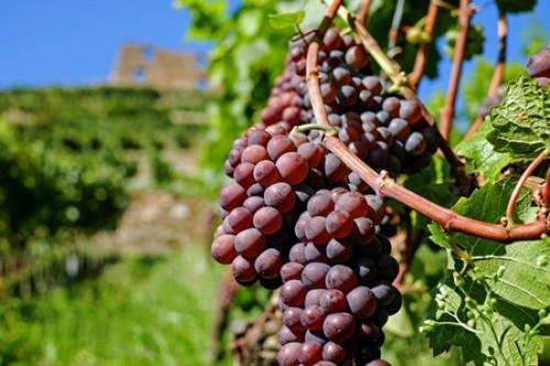 Pflanzenschutzmittel auf Bio-Wein erlaubt?
