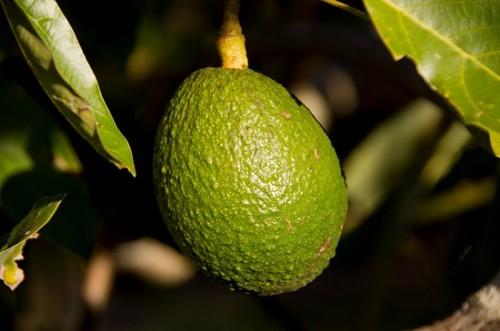 Amtliche Untersuchung von Avocados