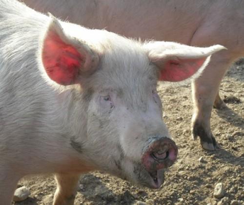 Antibiotika im Speichel von Schweinen nachweisbar