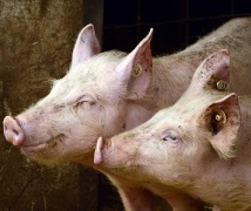 Online Lebensmittel: Initiative Tierwohl wächst weiter