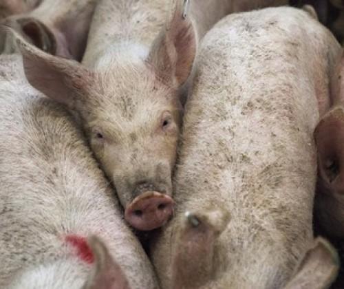 Schweinebrucellose in Österreich