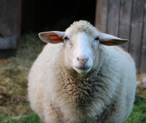 EFSA: Tierschutz bei Schlachtung tragender Tiere