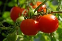 Pflanzenschutzmittelrückstände in Tomaten